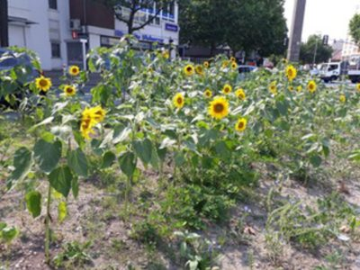 Sonnenblumen für Herford