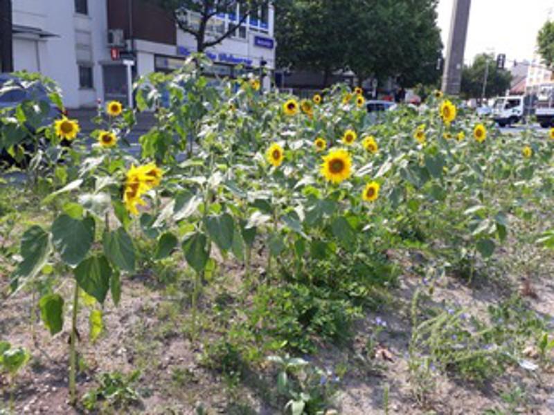 Sonnenblumen als Zeichen gegen das fortschreitende Artensterben